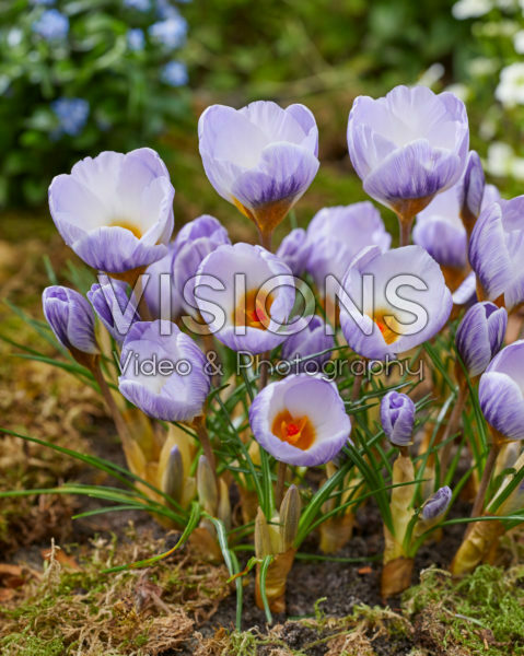 Crocus Polar Bear