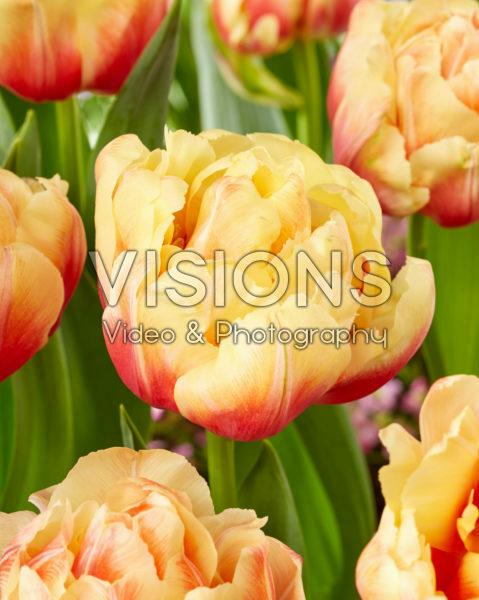 Tulipa Queensland Mutant