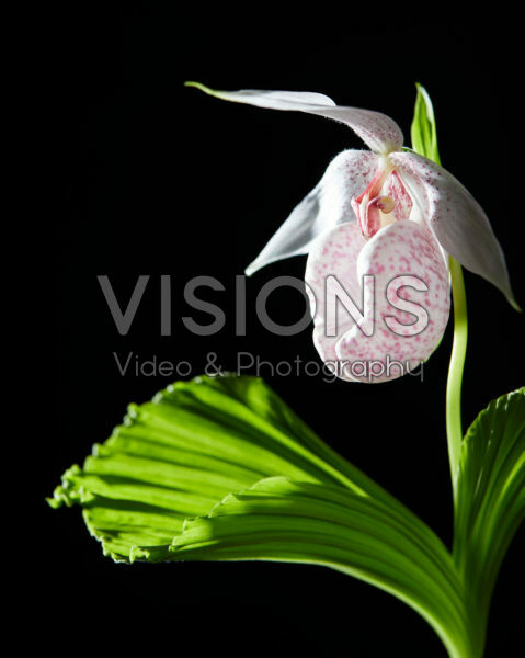 Cypripedium japonicum