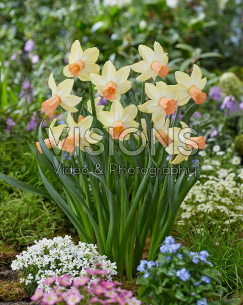 Narcis Carice