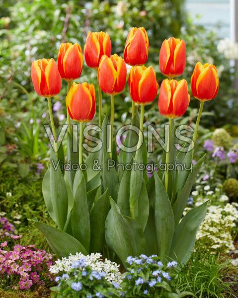 Tulipa Worlds Beauty