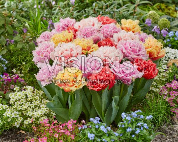 Tulipa Aussie Mix