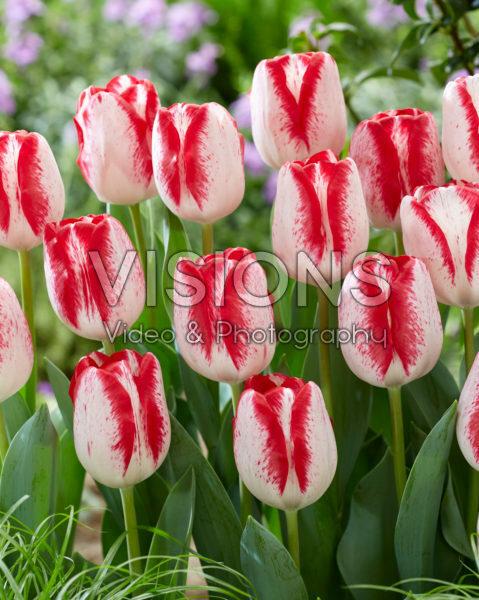 Tulipa French Kiss