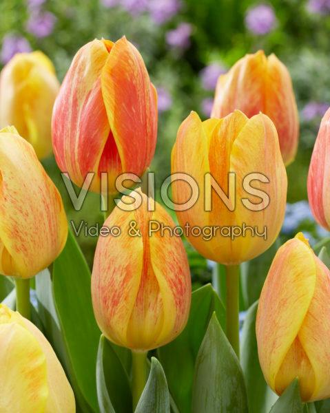 Tulipa Paintbrush