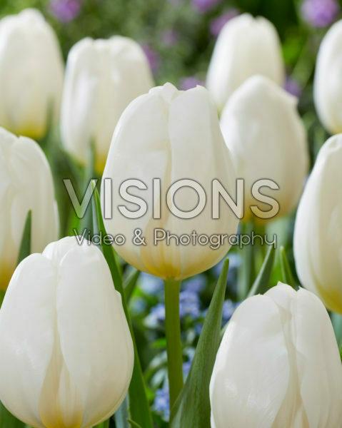 Tulipa Don White