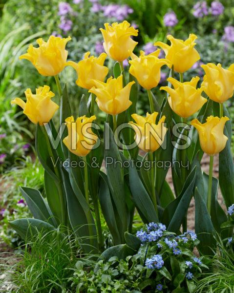 Tulipa King's Crown