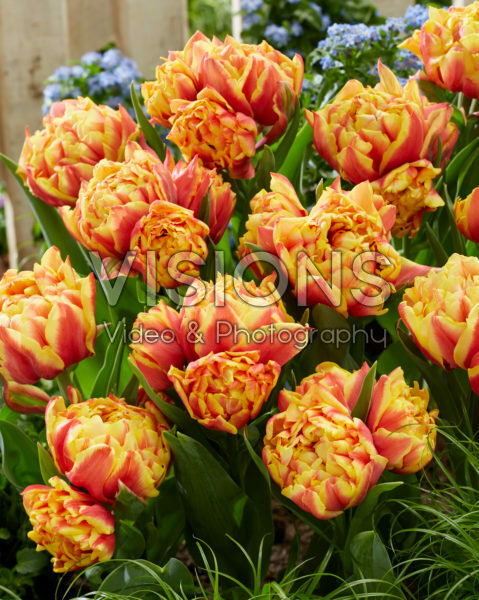 Tulipa Spain