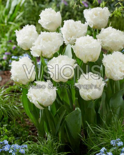 Tulipa White Ice