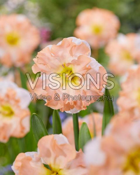 Narcissus Irena's Choice