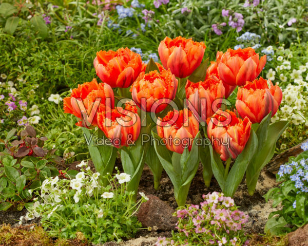 Tulipa Royal Centennial