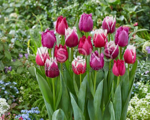 Tulipa mix San