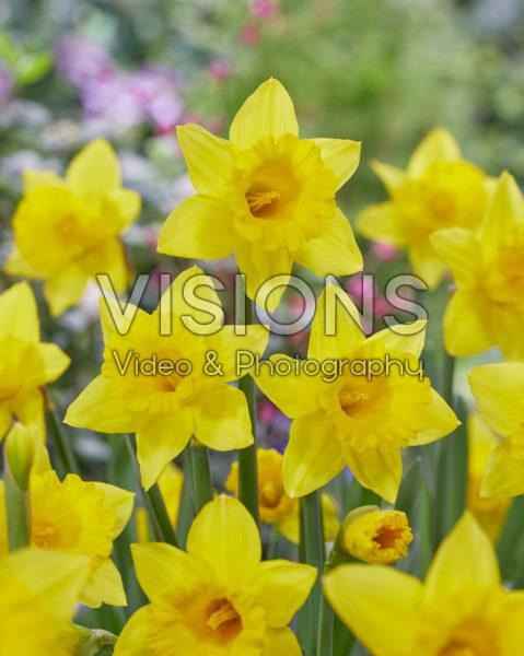 Narcissus Golden Bay
