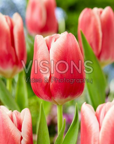 Tulipa His Love