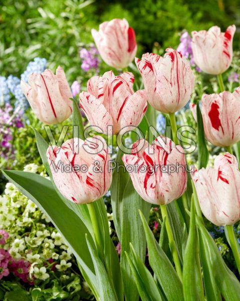 Tulipa Merel Delight