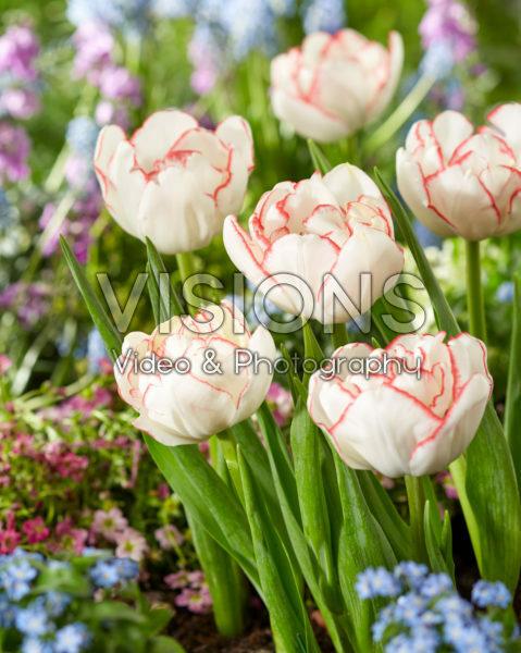Tulipa Rem Double