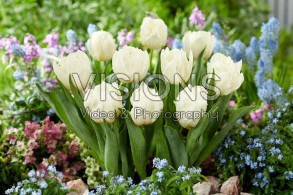 Tulipa Snow Tears