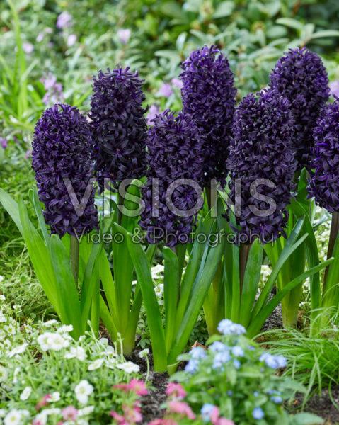 Hyacinthus Midnight Mystique