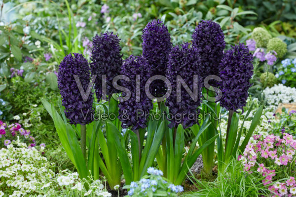 Hyacinthus Midnight Mystique