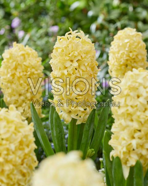 Hyacinthus Bon Bini