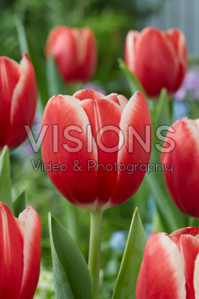 Tulipa Kung-Fu