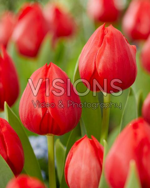 Tulipa Hotspot