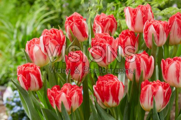 Tulipa Pink Delight