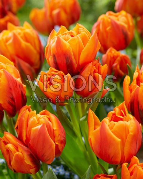 Tulipa Gaston