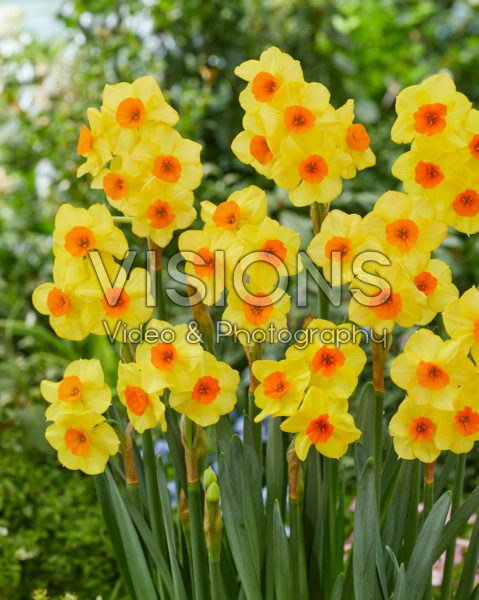 Narcissus Bright Day
