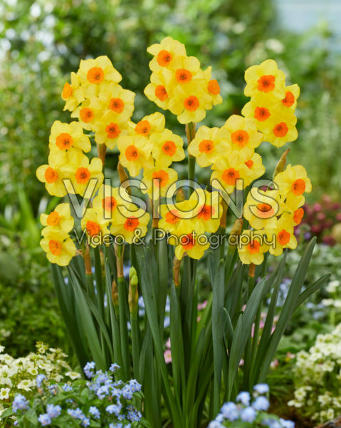 Narcissen Bright Day