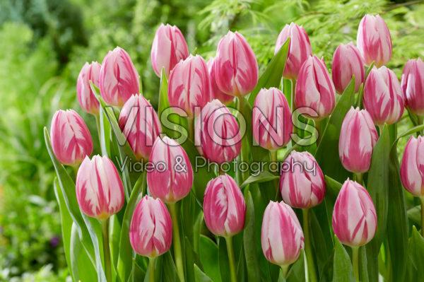 Tulipa Bojangles