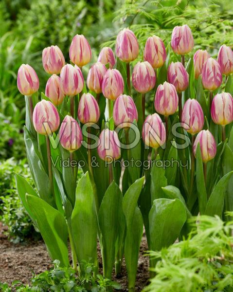 Tulipa Happy Feet