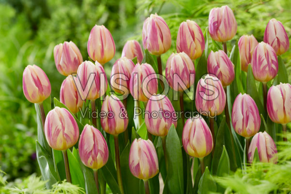 Tulipa Happy Feet
