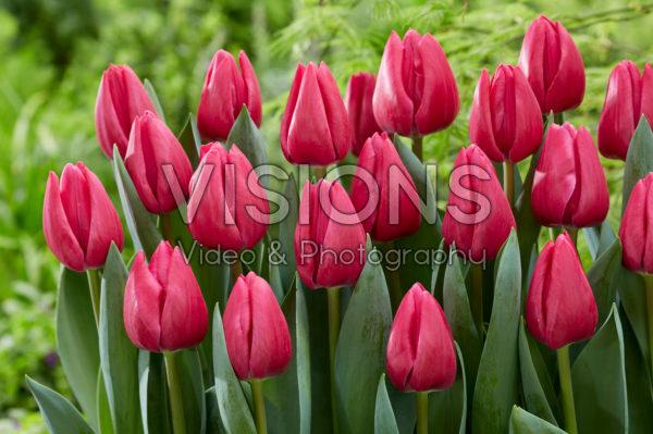 Tulipa Pink Power