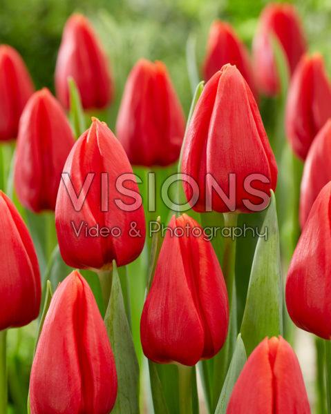 Tulipa Inxs