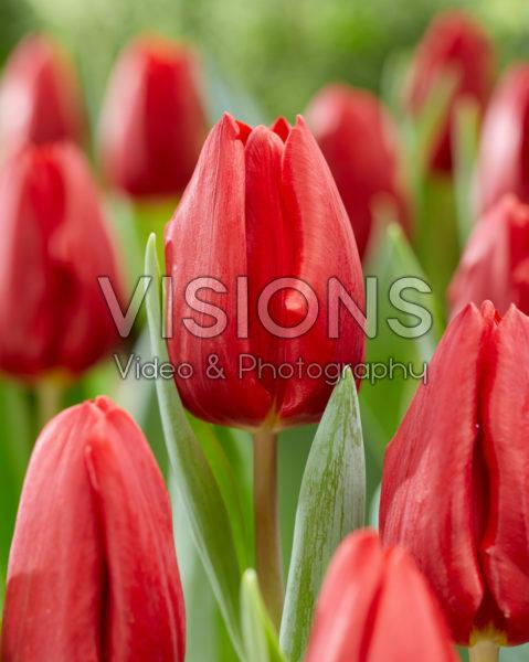 Tulipa Opportunity