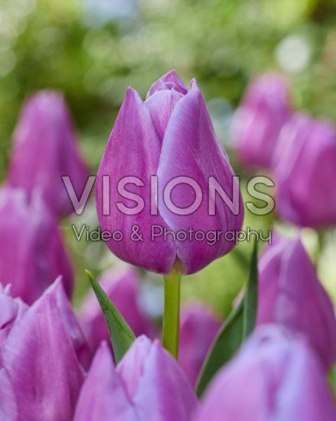 Tulipa Magic Lavender