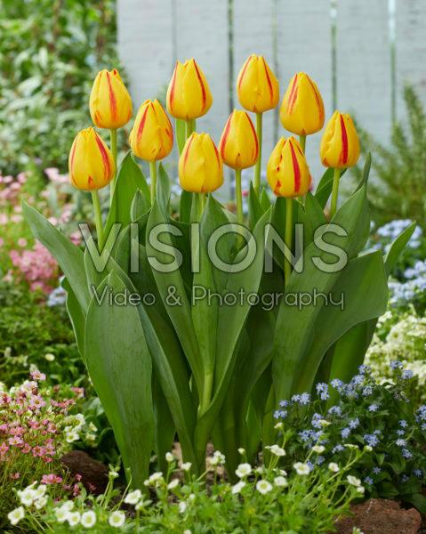 Tulipa Freedom Flame