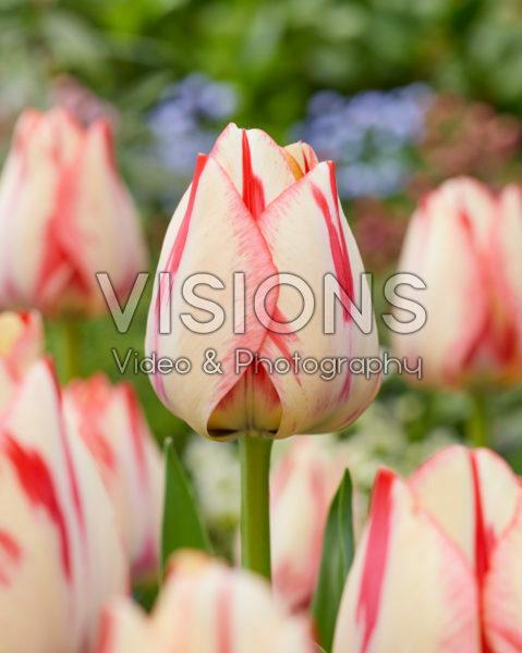 Tulipa Spryng Break