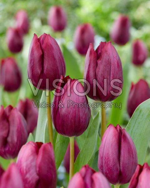 Tulipa Caviar