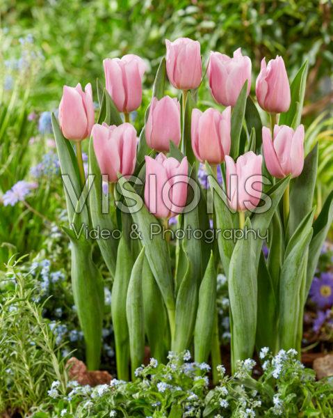 Tulipa Dutch Lane