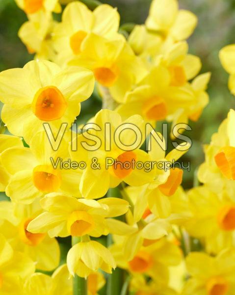 Narcissus Innisidgen