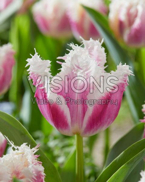 Tulipa Hawaii