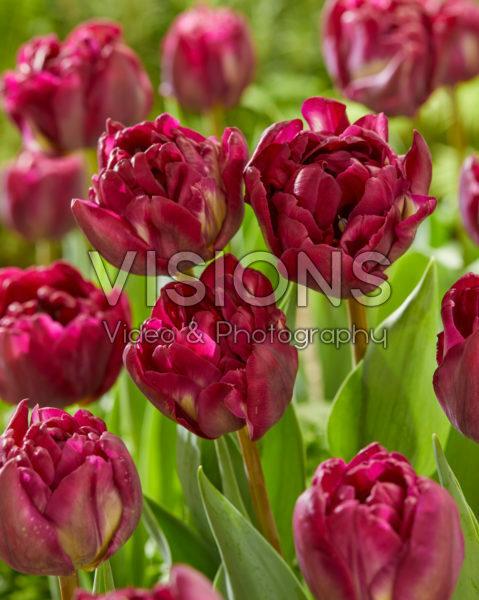 Tulipa Jinan