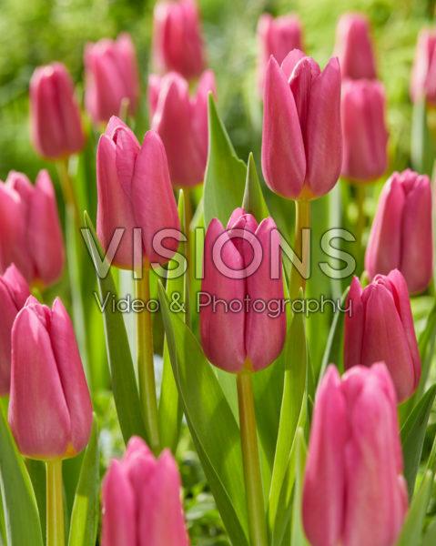 Tulipa Pink Marlene