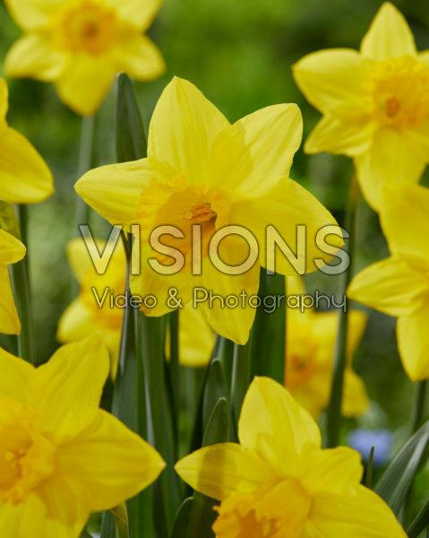 Narcissus Pentewan