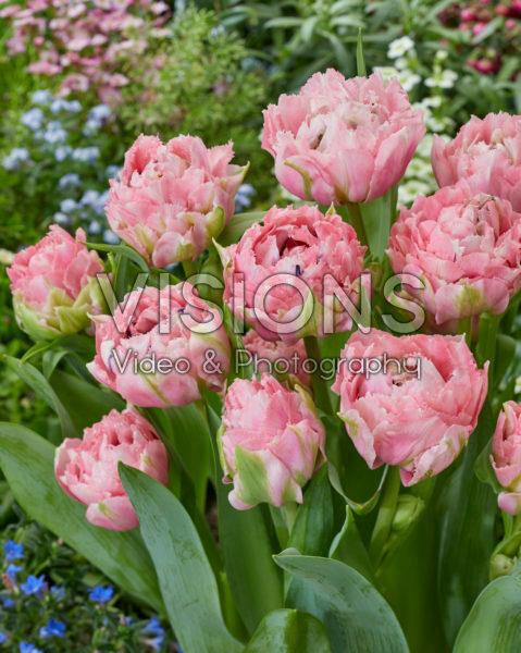 Tulipa Sugar Crystal