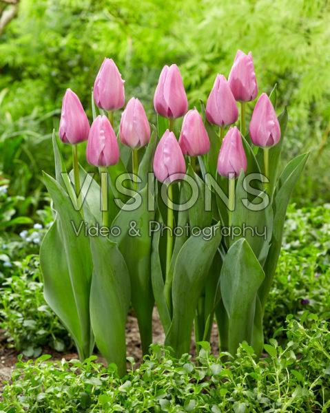 Tulipa 522.526.02.2001