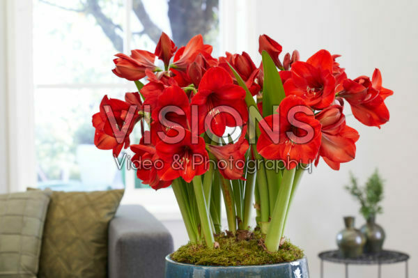 Hippeastrum Red Rival