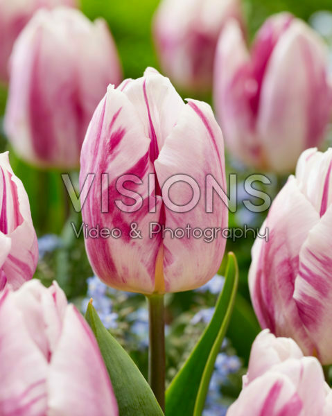 Tulipa Flamingo PrinceTulipa Flaming Prince
