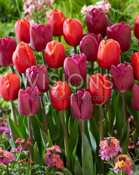 Tulipa Power Play, Bullit